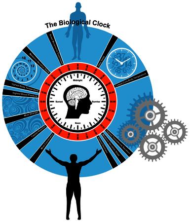 secretion: Biological Clock of Human Body