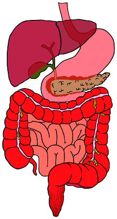 Human Digestive System tract vector diagram with all parts