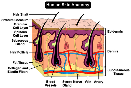 Human Body Skin Anatomy diagram infographic chart figure with all parts