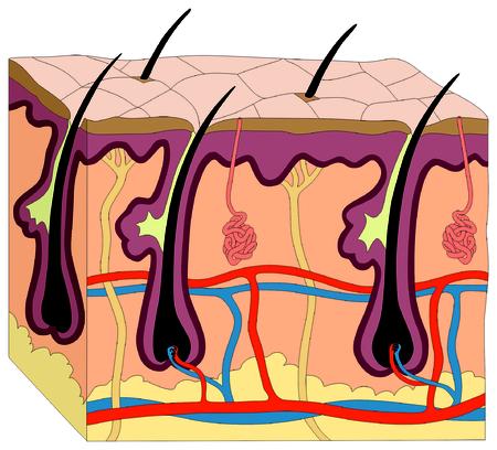 La Piel Del Cuerpo Humano Diagrama De Anatomía Figura Gráfico ...