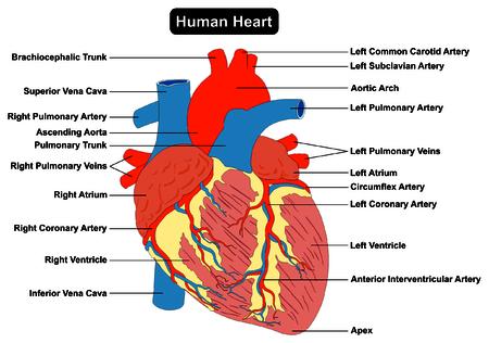 Anatomía Del Músculo Del Corazón Humano Sección Transversal Diagrama ...