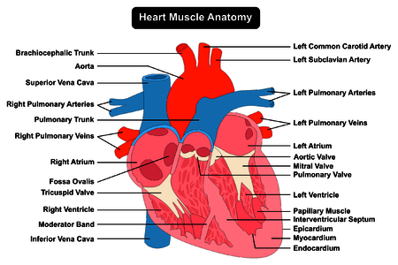 Human Heart Muscle structure Anatomy infographic chart diagram all parts