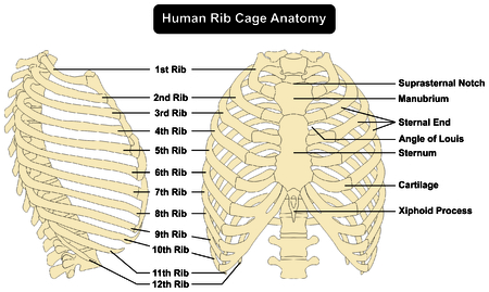 Anatomía de la caja torácica humana anterior y vista lateral derecha todos los huesos superficie