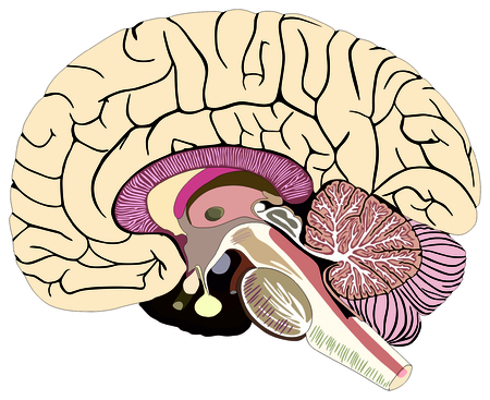Median Section Of Human Brain Anatomical Structure Diagram Unlabeled
