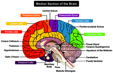 Median Section of Human Brain Anatomical structure diagram infographic chart  with all parts cerebellum thalamus, hypothalamus lobes, central sulcus medulla oblongata pons pineal gland figure  イラスト・ベクター素材