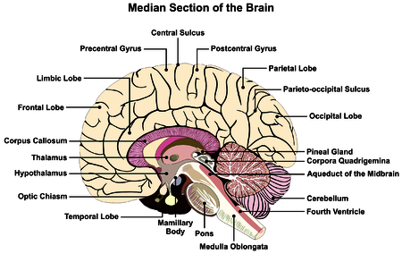 midbrain: Median Section of Human Brain Anatomical structure diagram infographic chart  with all parts.