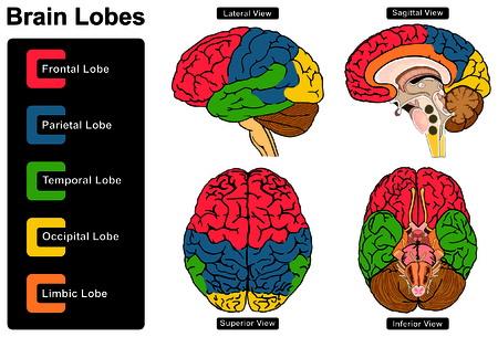 Human Brain Anatomy Set of Lateral Sagittal Superior Inferior Views with all lobes