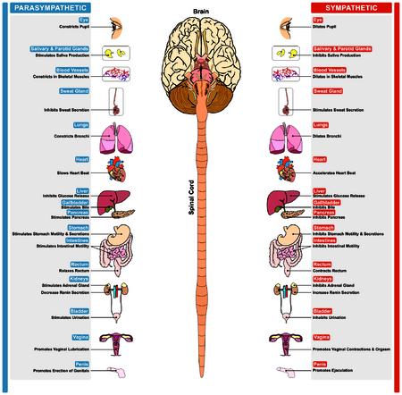 Het autonome zenuwstelsel onderverdeeld in sympathische en parasympathische effect