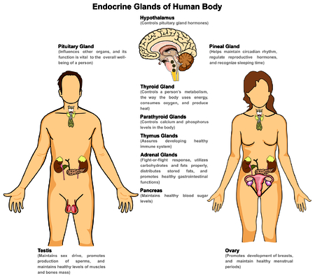 Endocrine Glands of Human Body for male and female  イラスト・ベクター素材