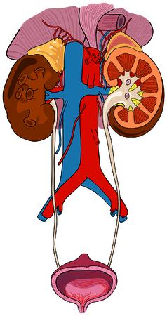 Sistema renal urinario de anatomía del cuerpo humano con todas las partes