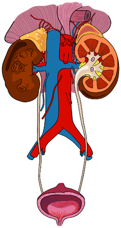 renal: Urinary Renal System of Human Body Anatomy with all parts Illustration