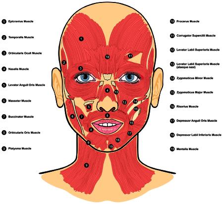 Anatomía De Los Músculos De La Cara Humana Ilustraciones Vectoriales ...
