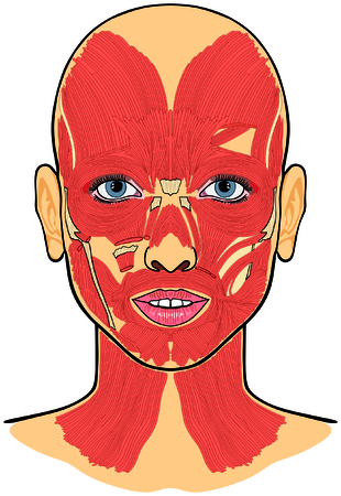 Human Face Muscles Anatomy Illustration