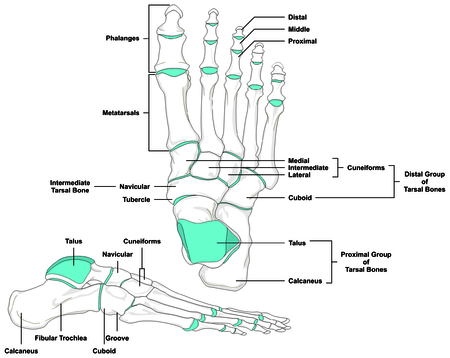 tarsal: Human Foot Bones Anatomy Diagram in anatomical position