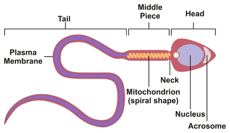 Sperm Cell Of Human Body Anatomical Diagram With All Parts Including ...