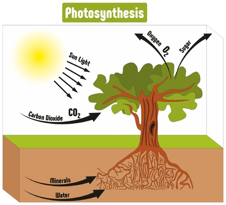 Photosynthesis Process in Plant Diagram with all factors and outputs including sun light carbon dioxide minerals water oxygen sugar for biology science education Stock Illustratie