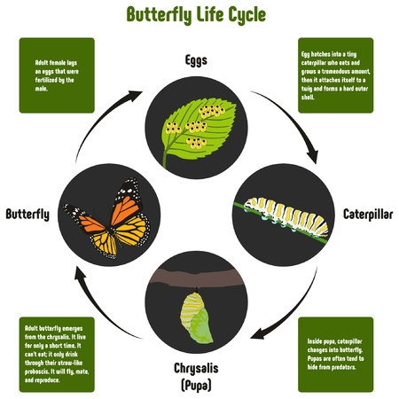 Diagrama del ciclo de vida de la mariposa con todas las etapas incluyendo huevos caterpillar crisálida pupa mariposa del adulto simple gráfico útil para la educación de la ciencia de la biología