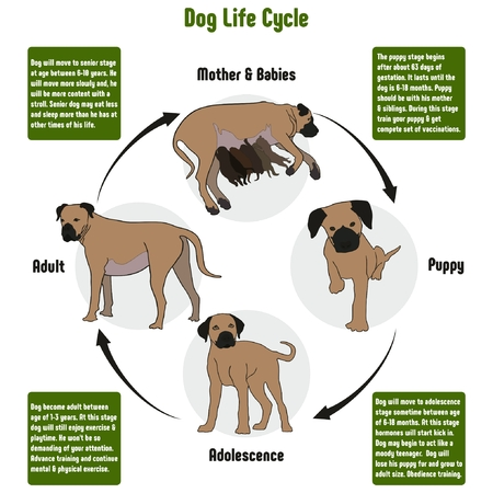 Dog Life Cycle Diagram with all stages including birth mother and babies puppy adolescence adult simple useful chart for biology science education Ilustração