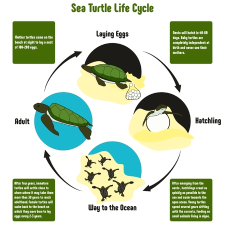 Sea Turtle Life Cycle Diagram with all stages including laying eggs hatchling way to the ocean and adult simple useful chart for biology science education