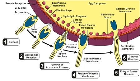 Human Sperm and Egg Fusion Diagram with all fertilization process and stages step by step including contact acrosomal cortical reaction growth fusion of plasma membrane entry of sperm nucleus