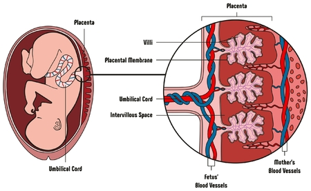 Human Fetus Placenta Anatomy Diagram with all part including mother blood vessels umbilical cord placental membrane for medical biology education