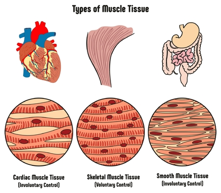 Types of  Muscle Tissue of Human Body Diagram including cardiac skeletal smooth with example of heart digestive system along with involuntary voluntary control for medical science education Stok Fotoğraf - 80631894
