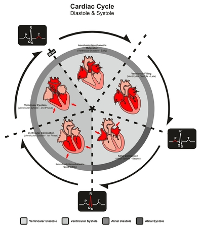 Cardiac Cycle Diastole and Systole of Human Heart Anatomy infographic diagram with all stages of pumping filling in right left atrium and ventricule for medicine science education medical healthcare