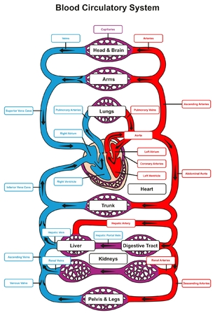 Blood Circulatory System of human body infographic diagram with heart pumping to all other organs and major arteries veins showing anatomical mechanism of circulation for anatomy science education