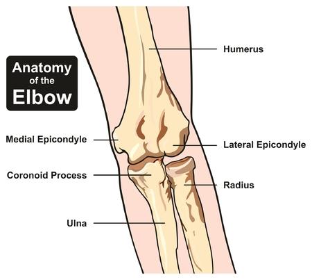 Diagrama De Infografía De Médula ósea Incluyendo Reproducción De ...