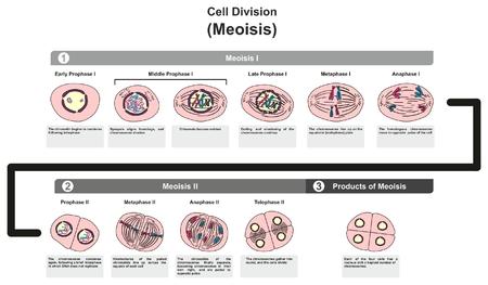Cell Division Meoisis의 모든 단계와 생물학 과학 교육을위한 발달의 여러 단계에서 염색질 염색체 DNA를 나누는 방법을 포함한 인포 그래픽 단계