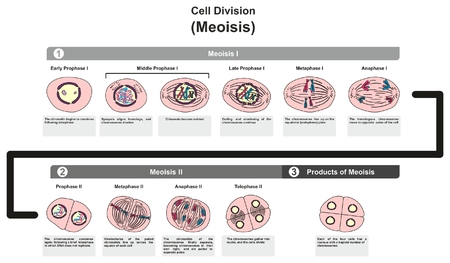 Cell Division Meoisis infographic diagram steps including all stages and how it divide chromatin chromosome DNA in different phases of development for biology science education Vectores