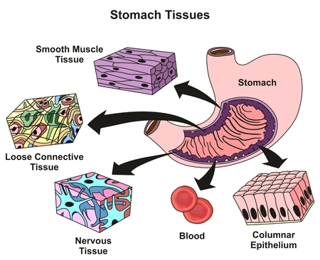 stomach tissues types and structure infographic diagram including rh 123rf com Human Tissue Diagram smooth tissue diagram