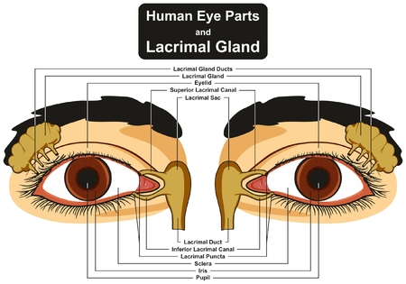lacrimal: Human Eye Parts and Lacrimal Gland infographic diagram including pupil iris sclera canal duct sac eyelid for medical science education and health care