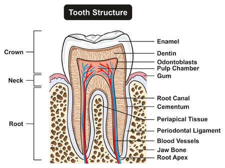 Tooth Cross Section Anatomy with all parts including crown neck enamel dentin pulp cavity gums root canal cement bone and blood supply for medical science education and dental health care - labeled