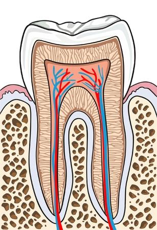 Anatomie de la coupe transversale des dents avec toutes les pièces, y compris le cou de la couronne, l'émail, la dentine, la pulpe, la cavité, les gencives, le canal radiculaire, le ciment, l'os et l'approvisionnement en sang pour l'enseignement des sciences médicales et les soins dentaires - sans étiquette