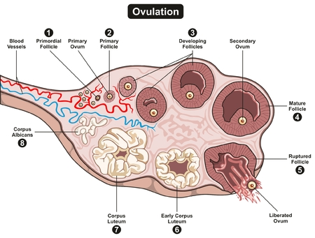 Ovulation Steps infographic diagram including all stages of developing follicle from primordial to final corpus albicans for science education and medical health care Imagens - 80713081