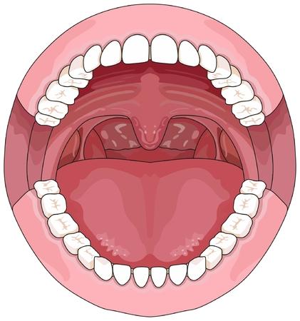 Diagramme infographique ouvert de la bouche d'un adulte, comprenant la mâchoire supérieure et inférieure avec des dents permanentes pour l'enseignement des sciences médicales et le concept de soins de santé