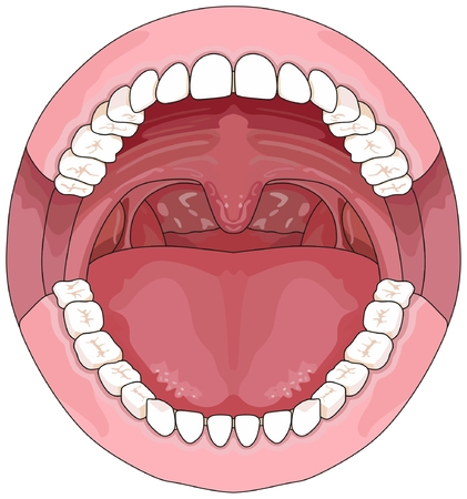 Opened Adult Mouth infographic diagram including upper and lower jaw with permenant teeth for medical science education and health care dental concept