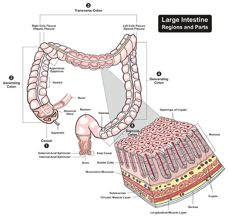 transverse: Large Intestine Regions and Parts cross section infographic diagram including cecum ascending transverse descending sigmoid colons for biology physiology education and medical health care