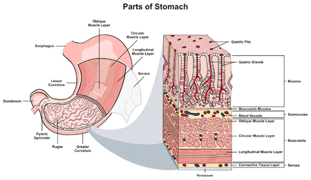Parts of Stomach infographic diagram including structure and cross section esophagus muscle layers lesser and greater curvature pyloric sphincter duodenum for medical science education and health care