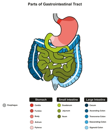 Parts of Gastrointestinal Tract infographic diagram including end of esophagus stomach small and large intestine where digestion take place in digestive system for medical science education and health care