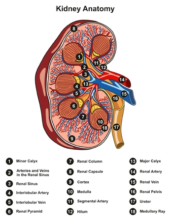 Kidney Anatomy Cross Section Infographic Diagram including all parts renal pelvis calyx medulla cortex ureter artery and vein supply blood vessels for medical science education and health care labeled