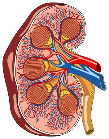 Przekrój poprzeczny anatomii nerek Schemat infograficzny obejmujący wszystkie części tętnicę miedniczą nerkową krążek tętnic korekcyjnych i naczynia krwionośne do nauczania przedmiotów medycznych i opieki zdrowotnej nieopisane
