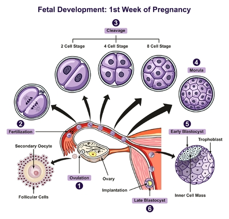 Fetal Development First Week of Pregnancy infographic diagram of female reproductive system with all stages including ovulation fertilization cleavage morula blastocyst for medical science education and health care Illustration