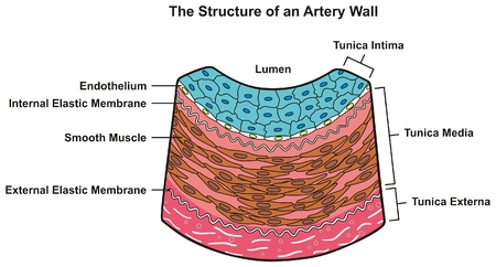 Structure of Artery Wall infographic diagram including all layers tunica externa media and intima cross section for medical science education and anatomy