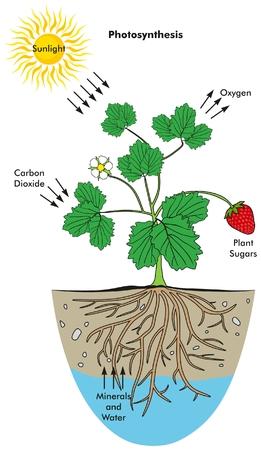 광합성 과정 태양 광 산소 이산화탄소 식물 당분 미네랄과 생물 과학 교육을위한 물을 포함한 모든 요소를 포함하는 인포 그래픽 다이어그램