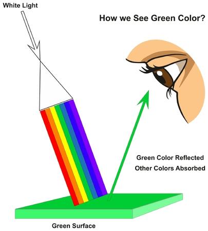 Wie wir grün sehen Das Infographikdiagramm der grünen Farbe zeigt das sichtbare Spektrum des Lichts auf der Oberfläche und der Farben, die entsprechend seiner Farbe für die naturwissenschaftliche Ausbildung reflektiert oder absorbiert werden