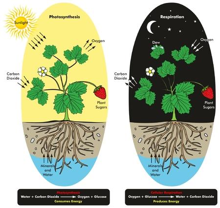 Fotosíntesis y proceso de respiración celular de la planta durante el día y el diagrama infográfico de la noche que muestra la comparación entre ellos y la fórmula con la reacción química para la educación en ciencias de la biología Ilustración de vector