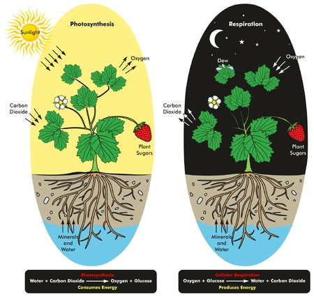 Photosynthesis and Cellular Respiration Process of Plant during day and night time infographic diagram showing comparison between them and formula with chemical reaction for biology science education