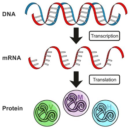Diagrama infográfico del Dogma central de expresión génica que muestra el proceso de transcripción y traducción del ADN al ARN a la proteína y cómo se forma para la educación en ciencia genética Ilustración de vector